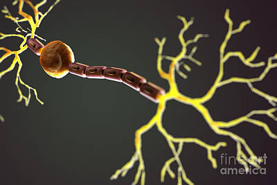 Bipolar Neuron Poster by Science Picture Co