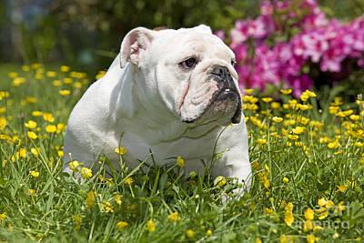 English Bulldog Poster by Jean-Michel Labat