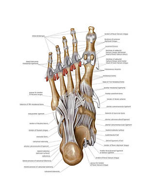 Foot Joints Poster by Asklepios Medical Atlas