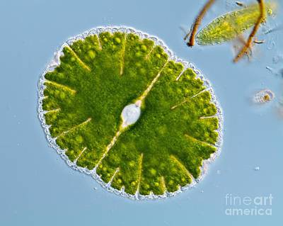 Green Alga, Light Micrograph Poster by Gerd Guenther