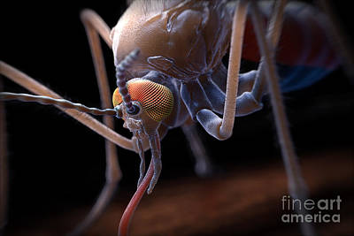 Anopheles Mosquito Poster by Science Picture Co