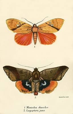 Butterflies Poster by English School