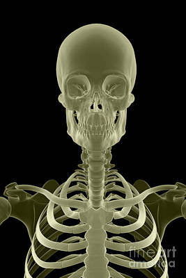 Bones Of The Head And Neck Poster by Science Picture Co