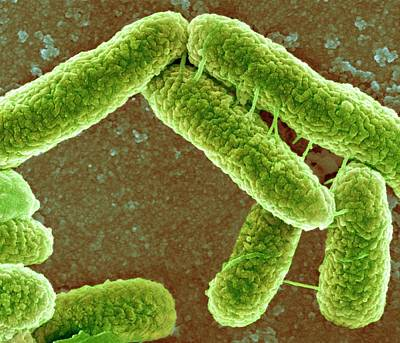 E Coli Bacteria Poster by Science Photo Library
