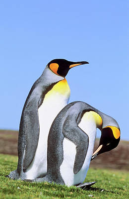King Penguin (aptenodytes Patagonica Poster by Martin Zwick