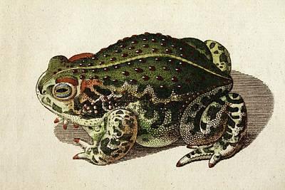1796 Green Toad Bechstein Conservationist Poster by Paul D Stewart