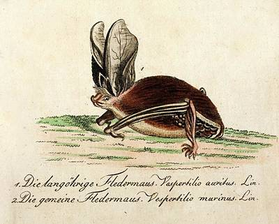 1796 Longeared Bat Bechstein Conservation Poster by Paul D Stewart