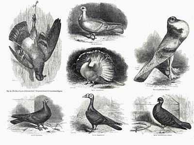 1868 Darwin Pigeon Breeds Illustration Poster by Paul D Stewart