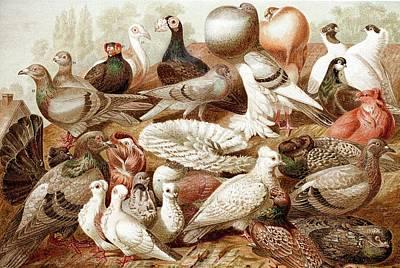 1870 Domestic Fancy Pigeon Breeds Darwin Poster by Paul D Stewart