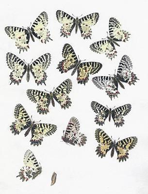 1875 European Festoon Butterfly Zerynthia Poster by Paul D Stewart