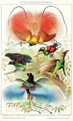 1894 Bird Of Paradise Wrong Display Poses Poster by Paul D Stewart