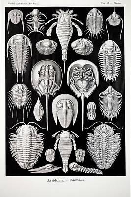 1899 Haeckel Aspidonia Trilobite Artwork Poster by Paul D Stewart