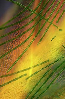 Desmids On Sphagnum Moss Poster by Marek Mis