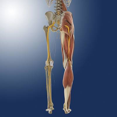 Lower Body Anatomy, Artwork Poster by Science Photo Library