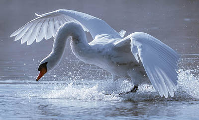 Alighting Swan Poster by Brian Stevens