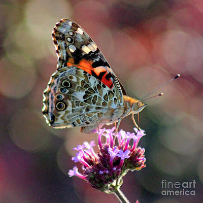 American Painted Lady Butterfly Square Poster by Karen Adams