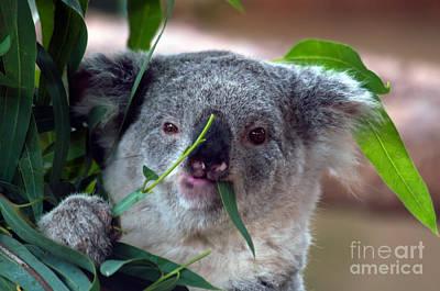 Baby Koala Poster by Mark Newman