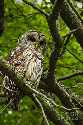 Barred Owl Poster by Thomas R Fletcher