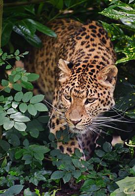 Beautiful Leopard Panthera Pardus Big Cat Amongst Foliage Poster by Matthew Gibson