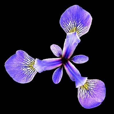 Blue Flag Iris Poster by Jim Hughes