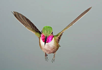 Broadtail Hummingbird Visualized Poster by Gregory Scott