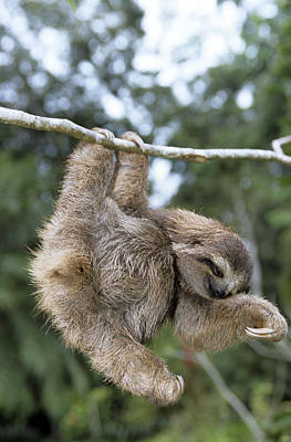 Brown-throated Three-toed Sloth Poster by M. Watson