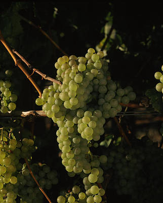Chardonnay Grapes In Vineyard, Carneros Poster by Panoramic Images