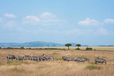 Common Zebra (equus Quagga Poster by Keren Su