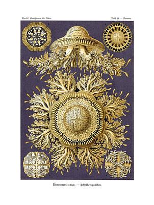 Discomedusae Poster by Ernst Haeckel