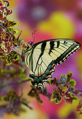 Eastern Tiger Swallowtail Butterfly Poster by Darrell Gulin