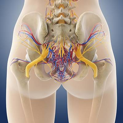 Female Pelvic Anatomy, Artwork Poster by Science Photo Library