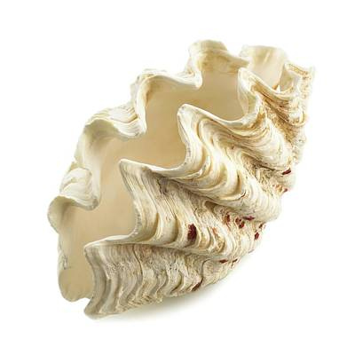 Fluted Giant Clam Shell Poster by Science Photo Library