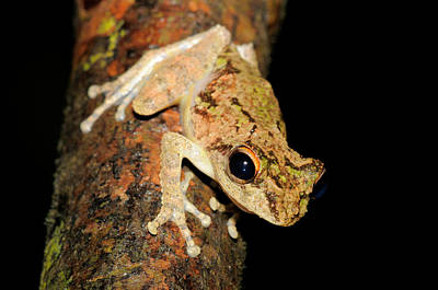 Frilled Tree Frog, Malaysia Poster by Fletcher & Baylis