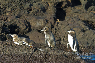 Galapagos Penguins Poster by William H. Mullins