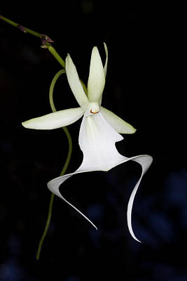 Ghost Orchid In Bloom, Polyrrhiza Poster by Maresa Pryor