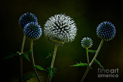 Globe Thistle Poster by Michael Cummings