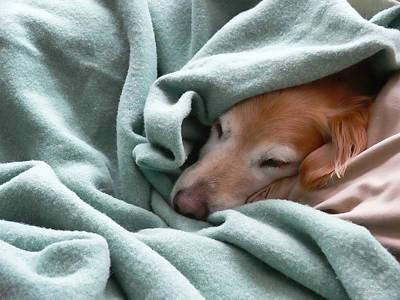 Golden Retriever Dog Under The Blanket Poster by Jennie Marie Schell