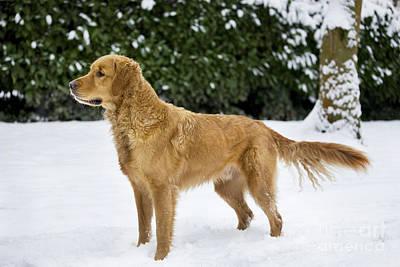 Golden Retriever In Snow Poster by Johan De Meester