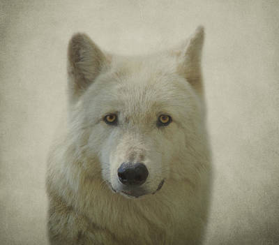 Gray Wolf Poster by Sandy Keeton