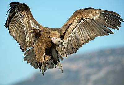 Griffon Vulture Flying Poster by Nicolas Reusens