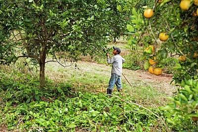 Harvesting Oranges Poster by Jim West