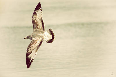 Herring Gull In Flight Poster by Karol Livote