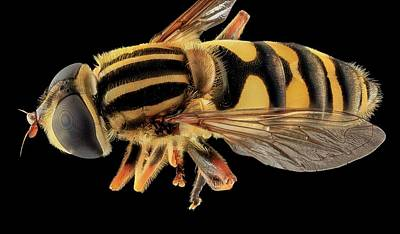 Hoverfly Poster by Us Geological Survey