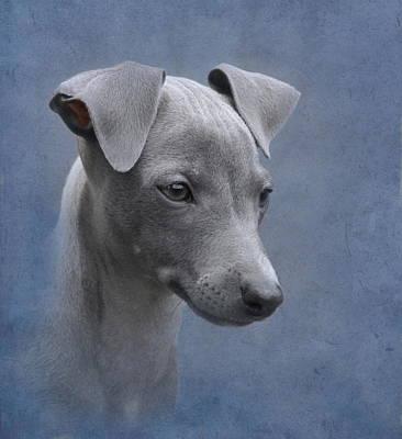 Italian Greyhound Puppy Poster by Angie Vogel