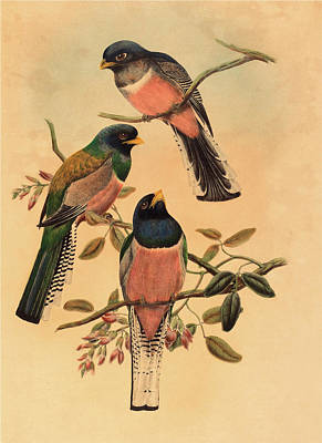 John Gould And W Poster by Litz Collection