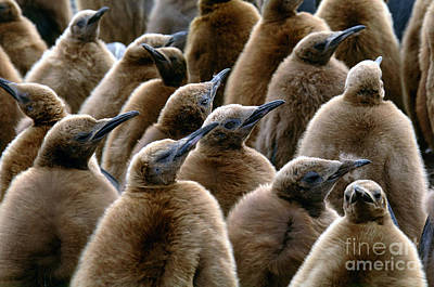 King Penguin Chicks Poster by Art Wolfe
