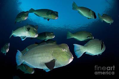 Large School Of Bumphead Parrotfish Poster by Steve Jones