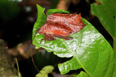 Leaf Mimic Katydid Poster by Dr Morley Read
