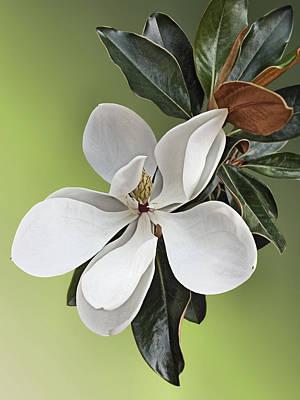 Magnolia Blossom Poster by Kristin Elmquist