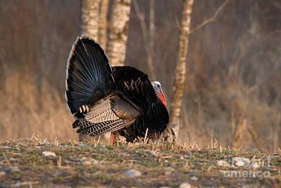 Male Eastern Wild Turkey Poster by Linda Freshwaters Arndt